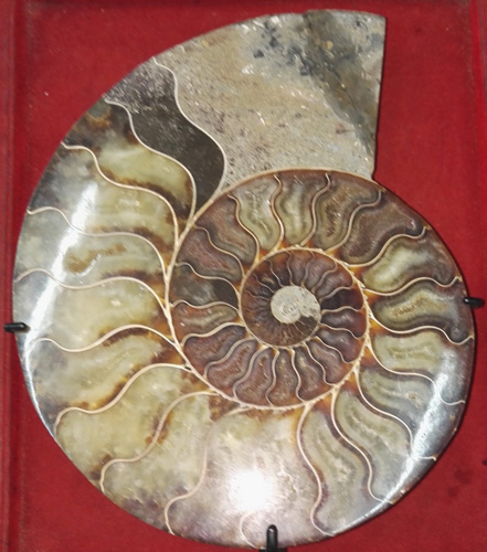 K6140-TR Pair of fossil shells, cut in half  Status : Inquire Click on picture for enlarge