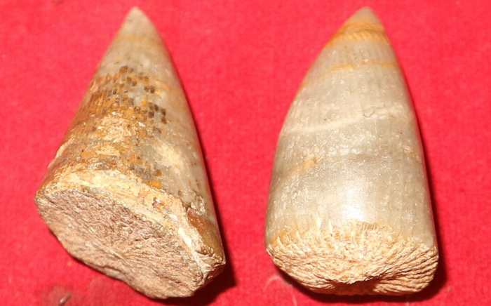 Pair of tiger teeth fossils