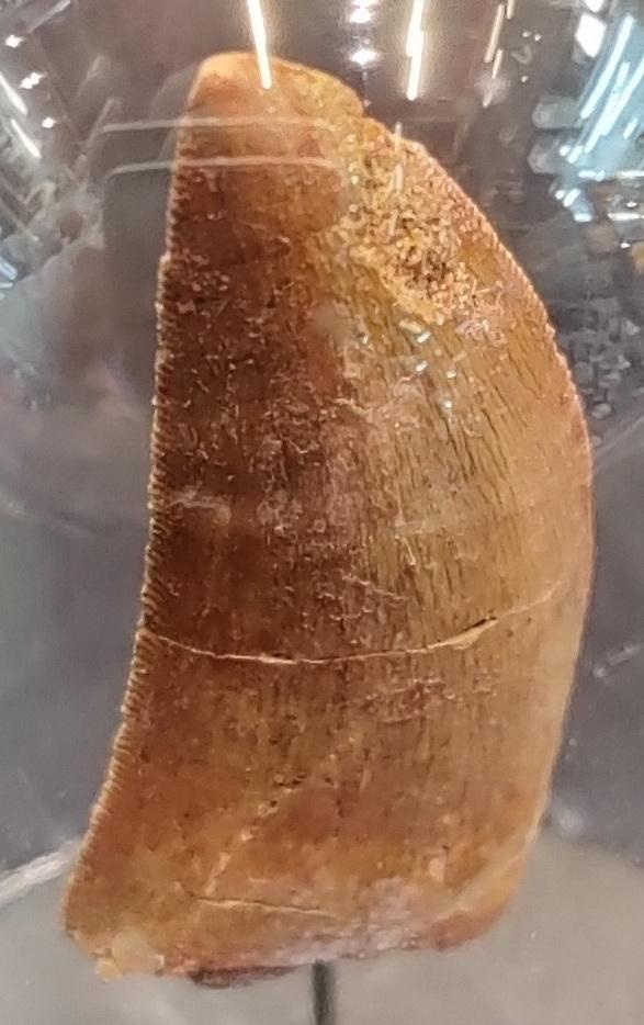 Fossil of dinausor teeth